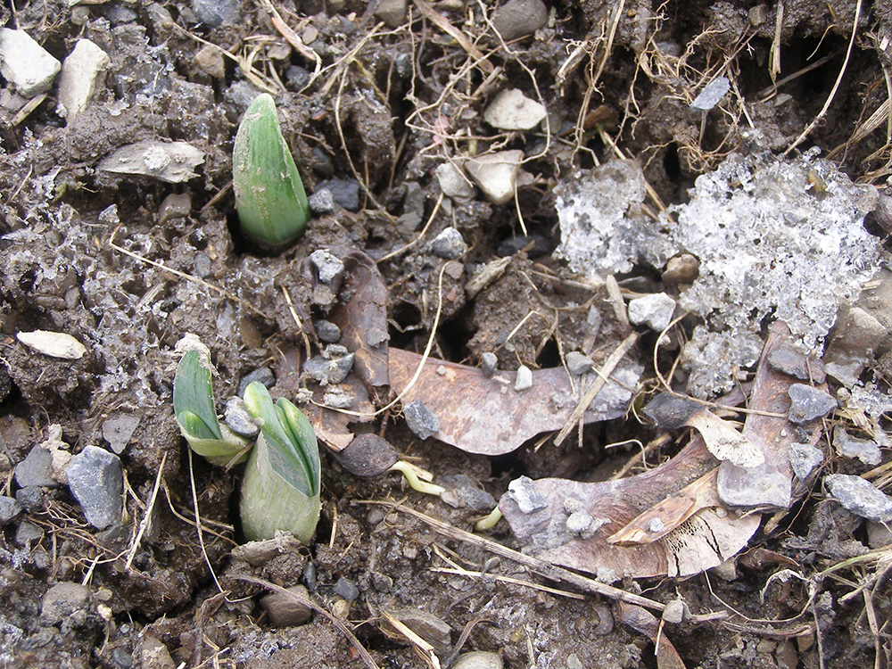Daffodils peeking through the ground March 25