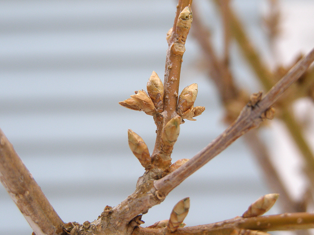 forsythia bud March 25