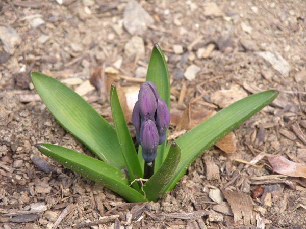 Saturday, April 14, 2018 Hyacinth in Chatham, NY
