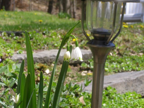flowering bulb zone 5 Columbia County NY May 3, 2020