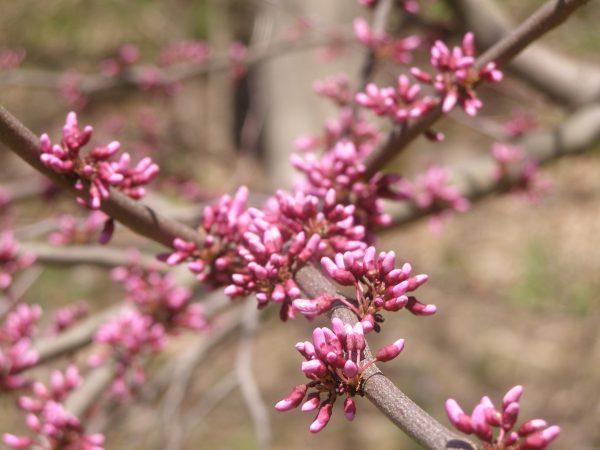 Red Bud Tree Zone 5 May 3, 2020 Columbia County NY