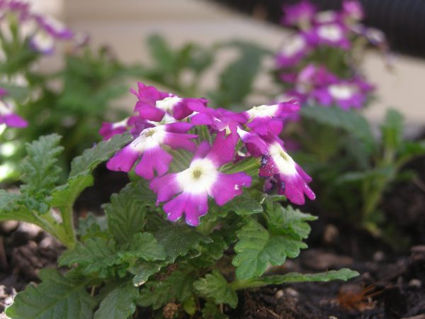 Sunday, May 3 2020 Wild flowers - Columbia County, NY
