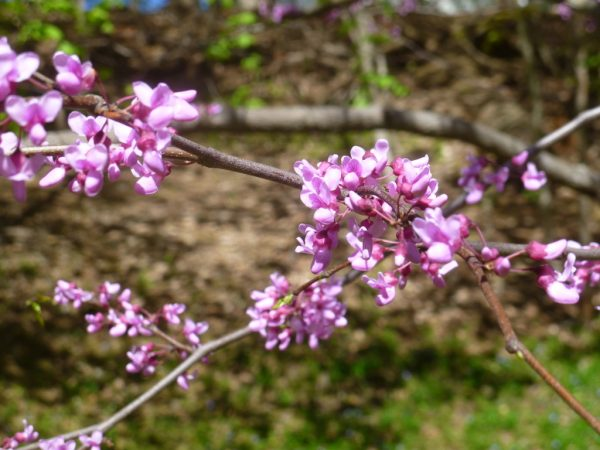 Red bud tree in flower